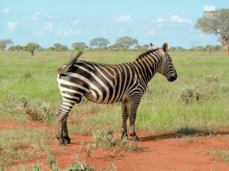 Zebra in Tsavo