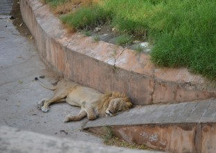 Lion in Jaipur zoo