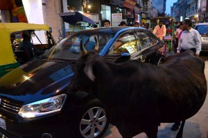 Cow and car