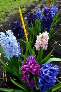 mixed hyacinths
