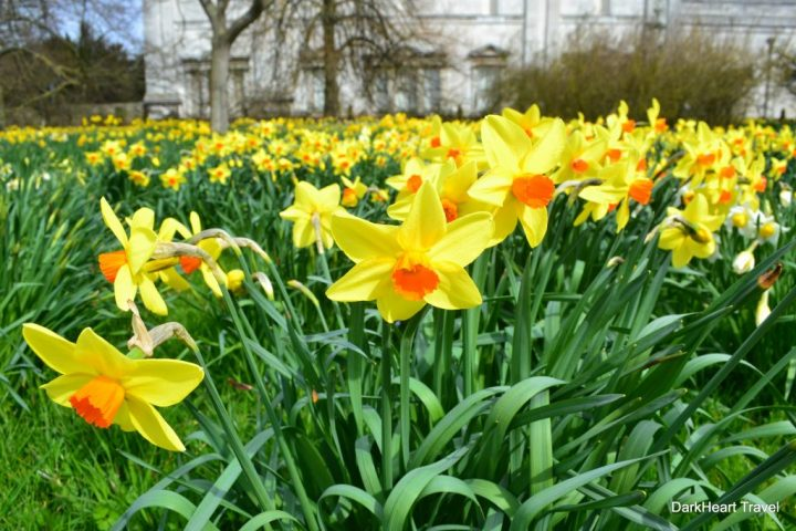 Daffodils in Peterhouse garden