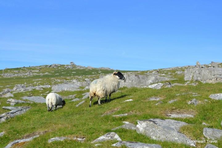 Sheep at Rough Tor