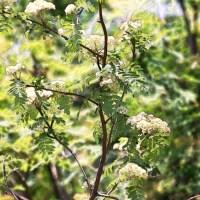 Ash Tree Blooms