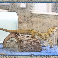 Bearded Dragon : Monochrome & Colour