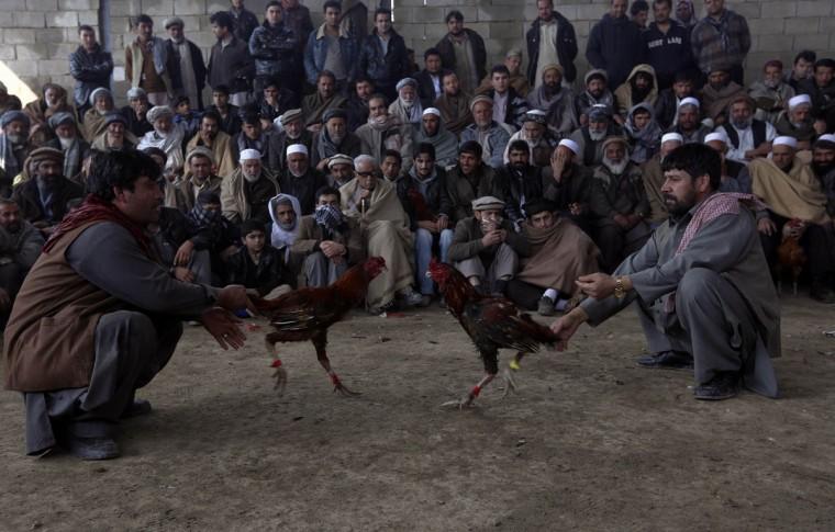 Афганские мужчины смотреть, как петухи драться во время традиционного конкурса петушиные бои в Кабуле 1 марта 2013.  (Омар Собхани / Reuters)