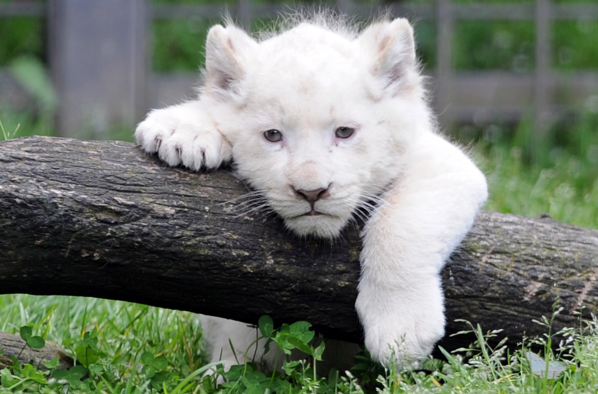 France Animals Lion Cub