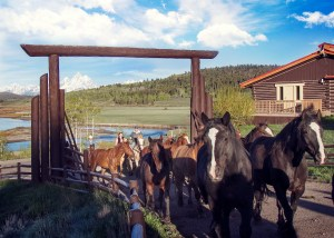 Running Horses at a Guest Ranch in Wyoming, Grand Tetons and Snake River in background