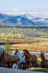 Grand Tetons, Running horses, Western Guest Ranch