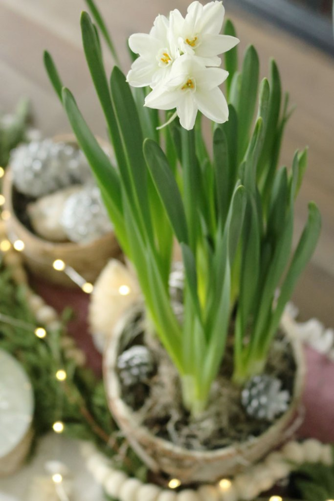 christmas-decorations-paperwhites