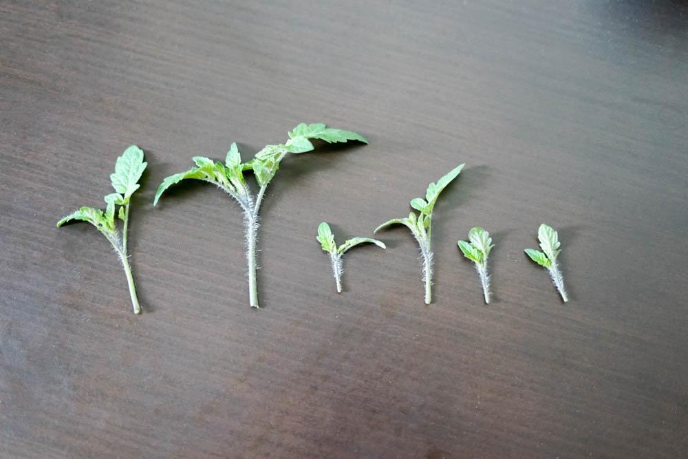 ミニトマトの脇芽