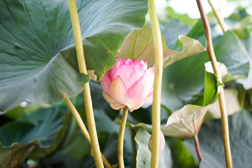 180723 tatebayashi lotus boat 15