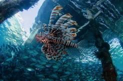 raja ampat Lionfish