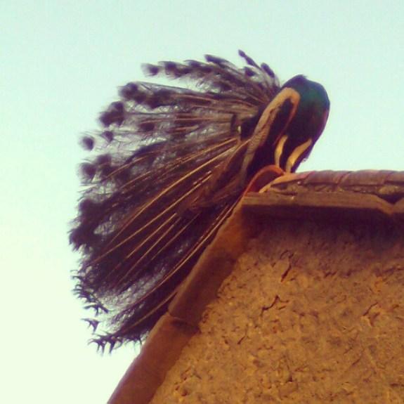 National Bird of India