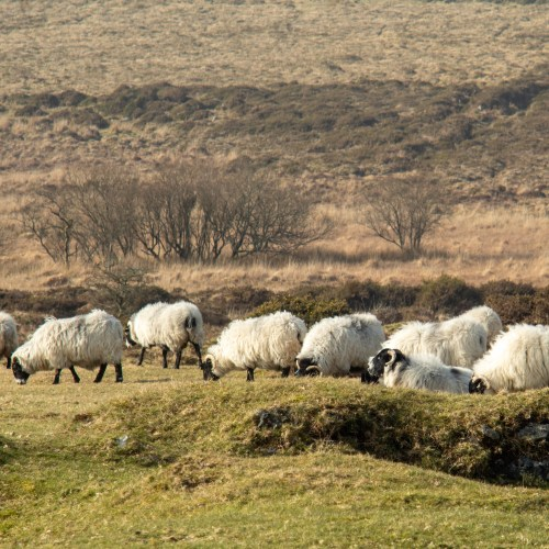 Jacob cross breed sheep on Dartmoor