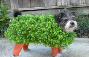 "Get it? ""Cha-cha-Chia Pet!"" dog for Halloween."