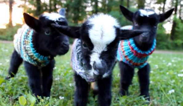 Triplet Baby Goats In Sweaters