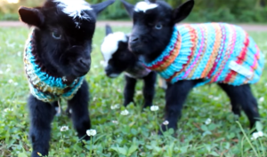 Triplet baby goats showing off their new sweaters. Off-the-charts adorable!