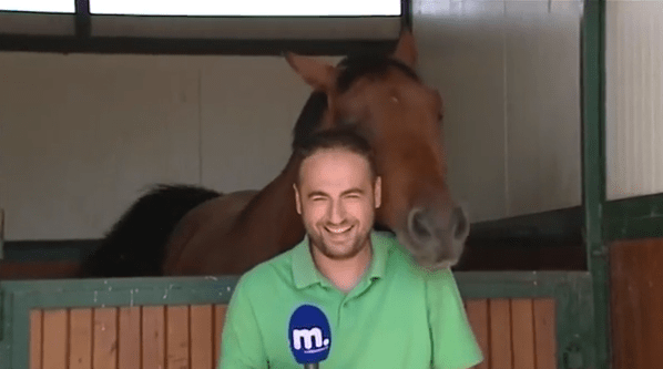 Funny Horse Keeps Reporter Laughing As He Fails At Stand Up After Stand Up
