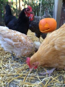 Though it has little to do with this story, here's an example of the geeky chicken stuff we talk about at our Fowl Friends meetings. How I made a jack o'lantern so my chickens could trick or treat.