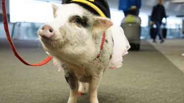 Lilou is the therapy pig soothing travelers at SFO airport.
