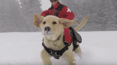 Jake, the newest ski patrol and avalanche rescue dog at his first day of training at Vail ski resort.