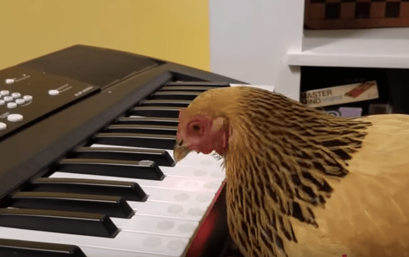 "Patriotic Chicken Plays ""America The Beautiful"" On Keyboard Piano"