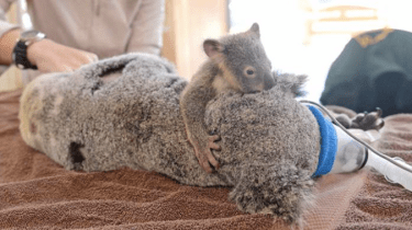 Baby Koala clings to his mother as she undergoes life-saving surgery.