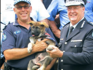 Gavel, the police academy trainee pup, flunked out of the academy for being too nice. The governor of Queensland, Australia steps in to give Gavel a new job.