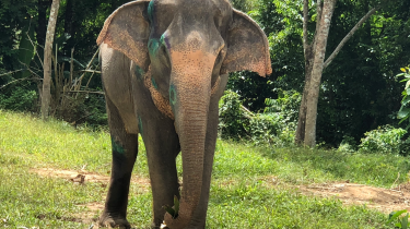 Formerly abused elephants now find a home at Phuket Elephant Sanctuary in Thailand.