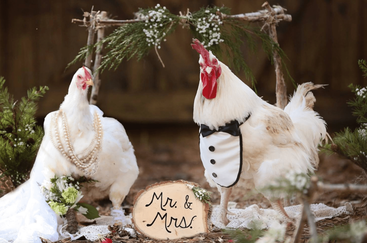 It's A Chicken Wedding For Two Rescue Chickens Who Became Love Birds!