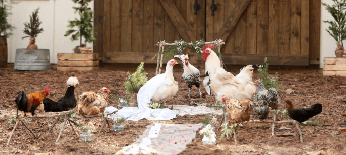 Two unlikely love birds are featured in a chicken wedding in Georgia.The story of their rescue and falling in love will hatch hope for love.