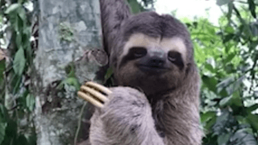 A sloth smiles and waves back at a man who just saved him from the road in the middle of rush hour traffic in Rio de Janeiro.