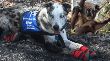 Bear, the rescue dog, is helping to save koalas during the Australian brushfires.