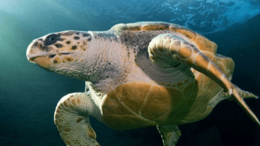 Yoshi the loggerhead turtle has swum 23,000 across two oceans after 20 years in captivity.