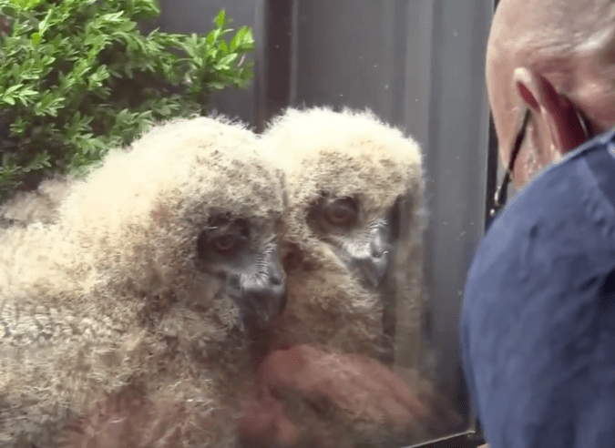 The baby owls and delighted host engage in daily conversations.