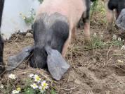 Schwein buddelt