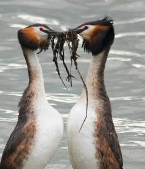 gli svassi e la danza del pinguino