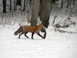fox4small_large