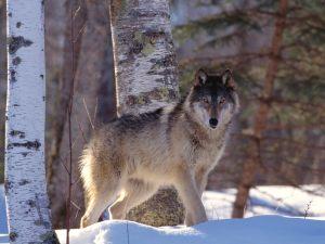 wolfeyes
