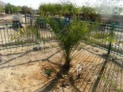 foinikodentra-ioudaia