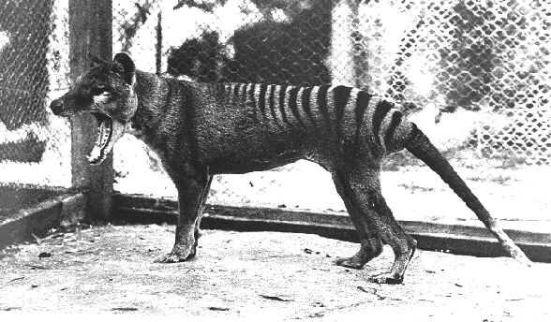 Τίγρης Τασμανίας