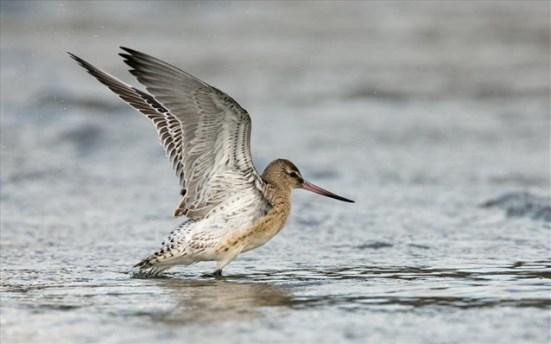 Επιστήμονες λένε ότι το ακτοτούρλι, χάρη και στην ικανότητά του να «κρίνει» τις καιρικές συνθήκες, βρίσκεται σε προνομιακή θέση έναντι άλλων πτηνών καθώς οι θερμοκρασίες ανεβαίνουν.
