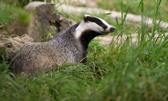European badger (Meles meles)