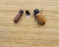 Bostrychus capucinus (τέλεια έντομα και οπή εξόδου από παρκέ).