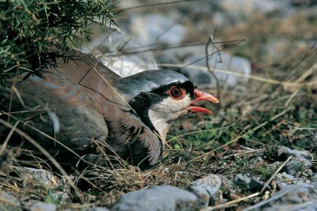 Πετροπέρδικα (Φωτό: Νίκος Πέτρου - από: www.foropenforests.org )