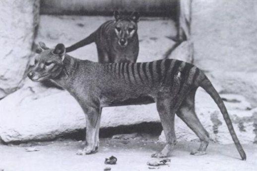 ύκοι της Τασμανίας σε ζωολογικό κήπο της Ουάσινγκτον γύρω στο 1906. Το είδος εξαφανίστηκε το 1936