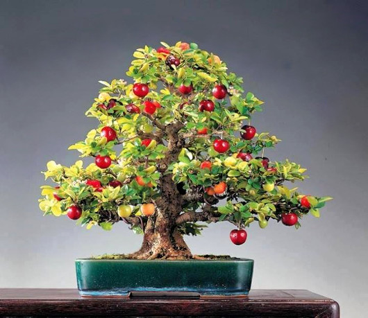 apple_bonsai