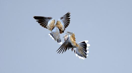 Turtle Doves Streptopelia turtur fighting Norfolk June