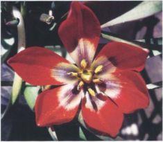 Tulipa _doefleri
