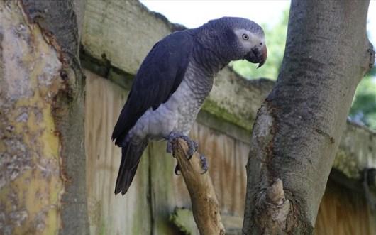 afrikanikos-gkrizos-papagalos